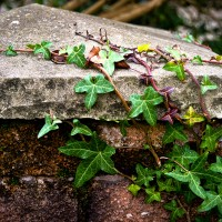 green ivy vine stone wall
