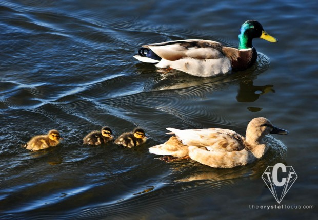 TCF_SFS_051312_mothers_day_mallards2