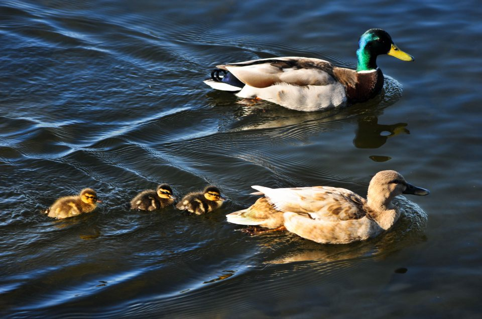 baby ducks, ducks, kirkland, lake