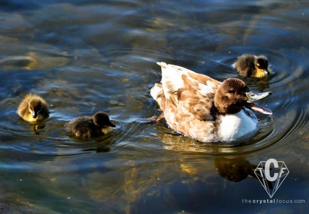 TCF_SFS_051312_mothers_day_mallards3