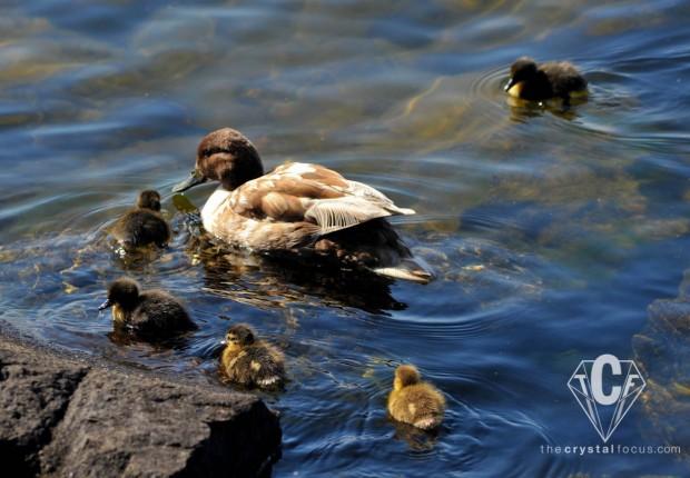 TCF_SFS_051312_mothers_day_mallards4