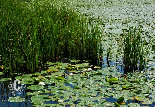 TCF_SFS_071512_waterlilies4