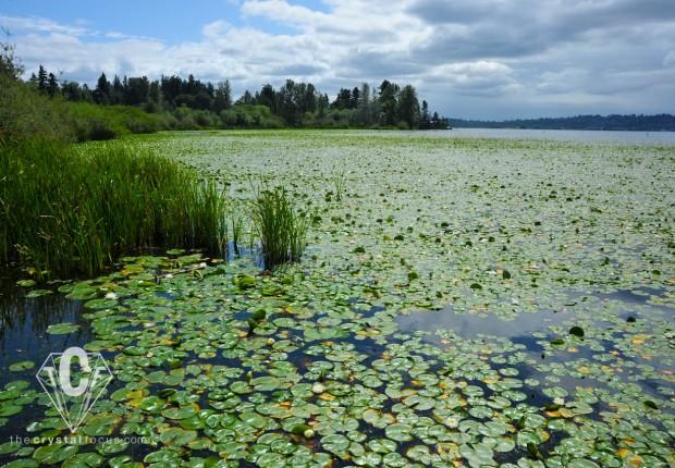 TCF_SFS_071512_waterlilies5