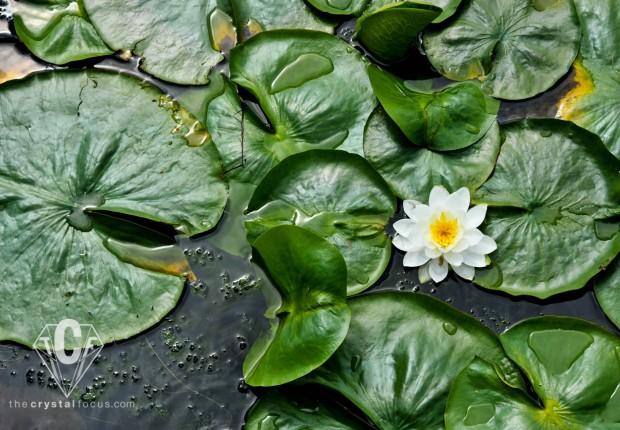 TCF_SFS_071512_waterlilies7