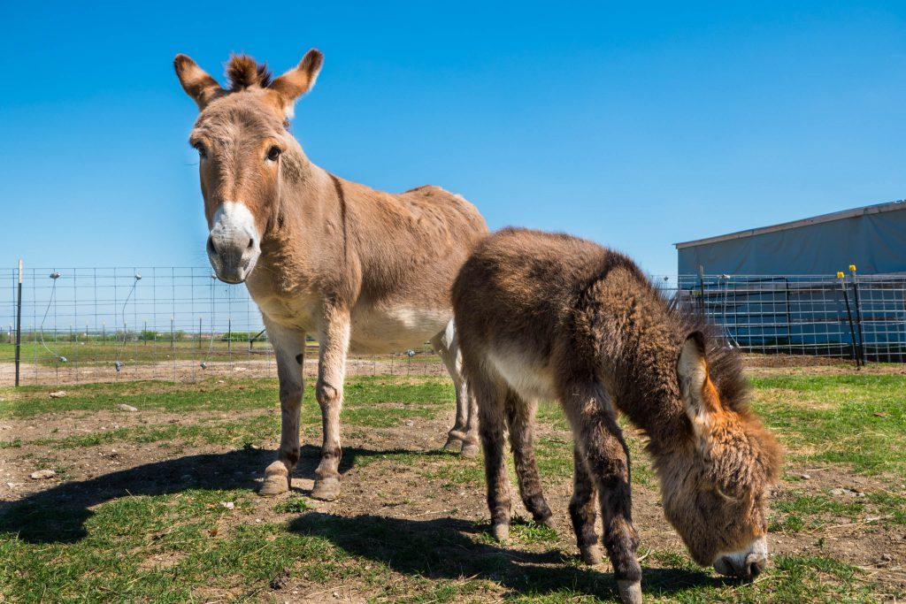 Becky's Horse Rescue, Bubbles, Frisco, Texas, barn, chicken, donkey, farm, horse, horses, ranch, rescue