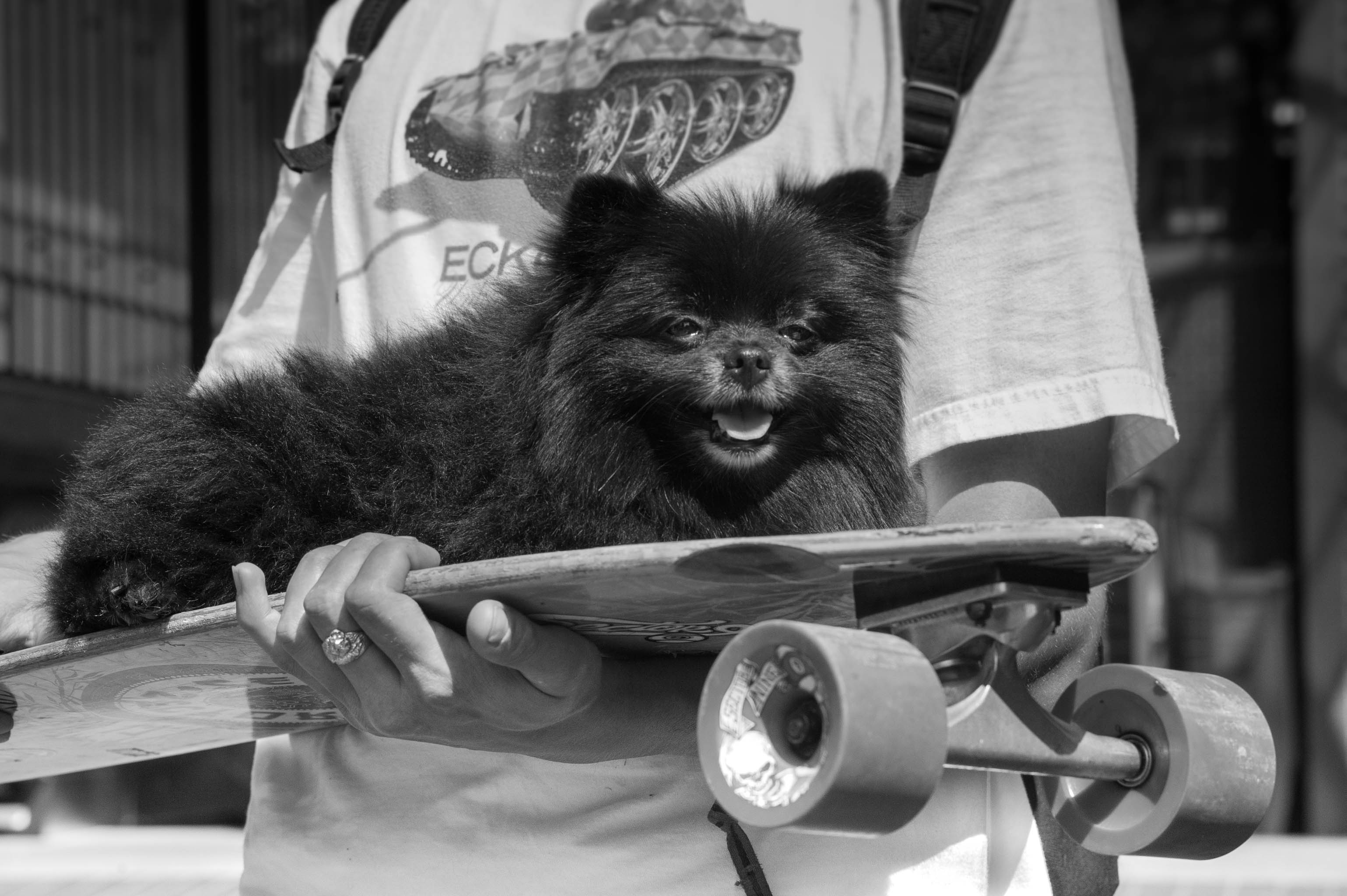 small dog on skateboard