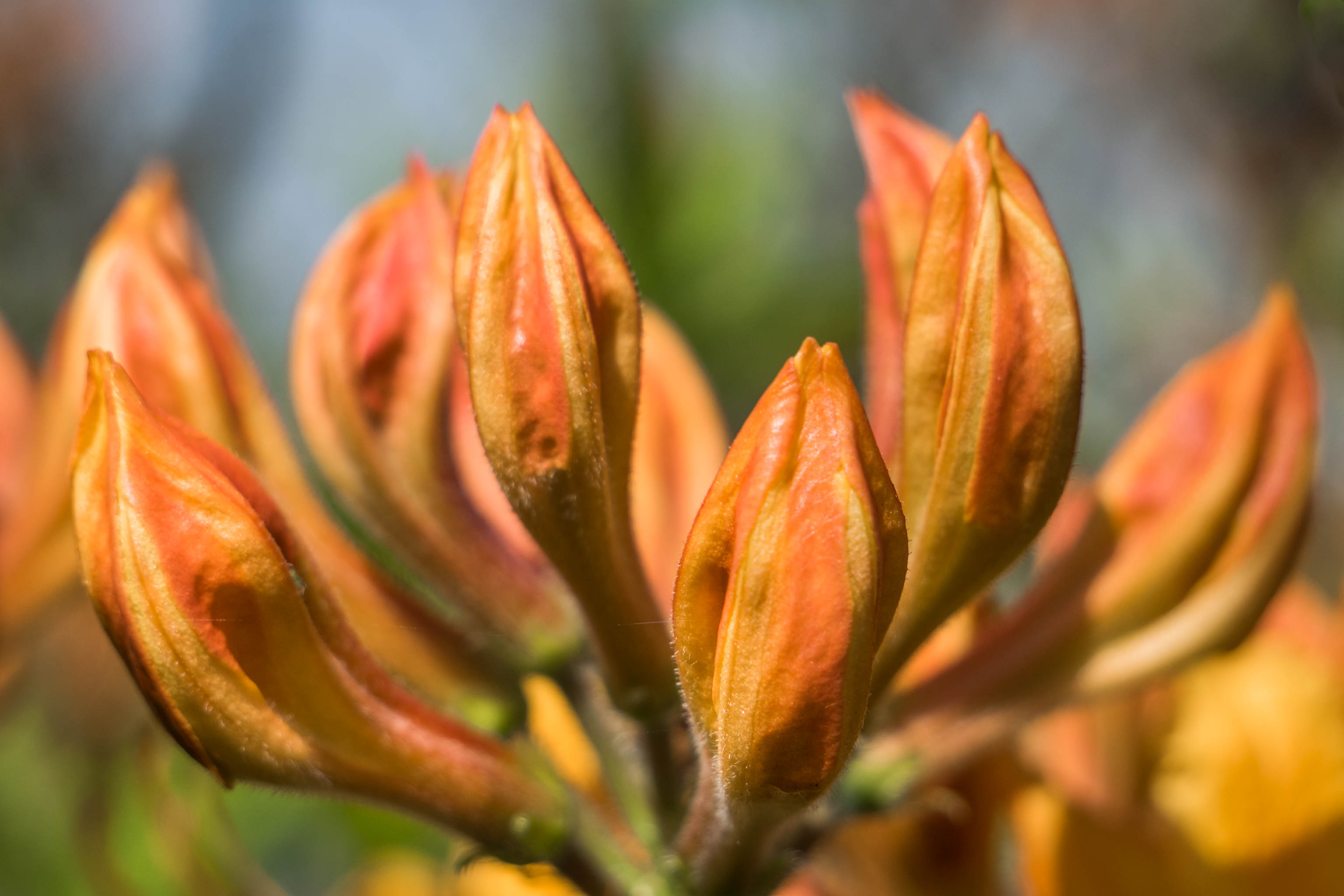 Rhododendron Golden Lights flower bud