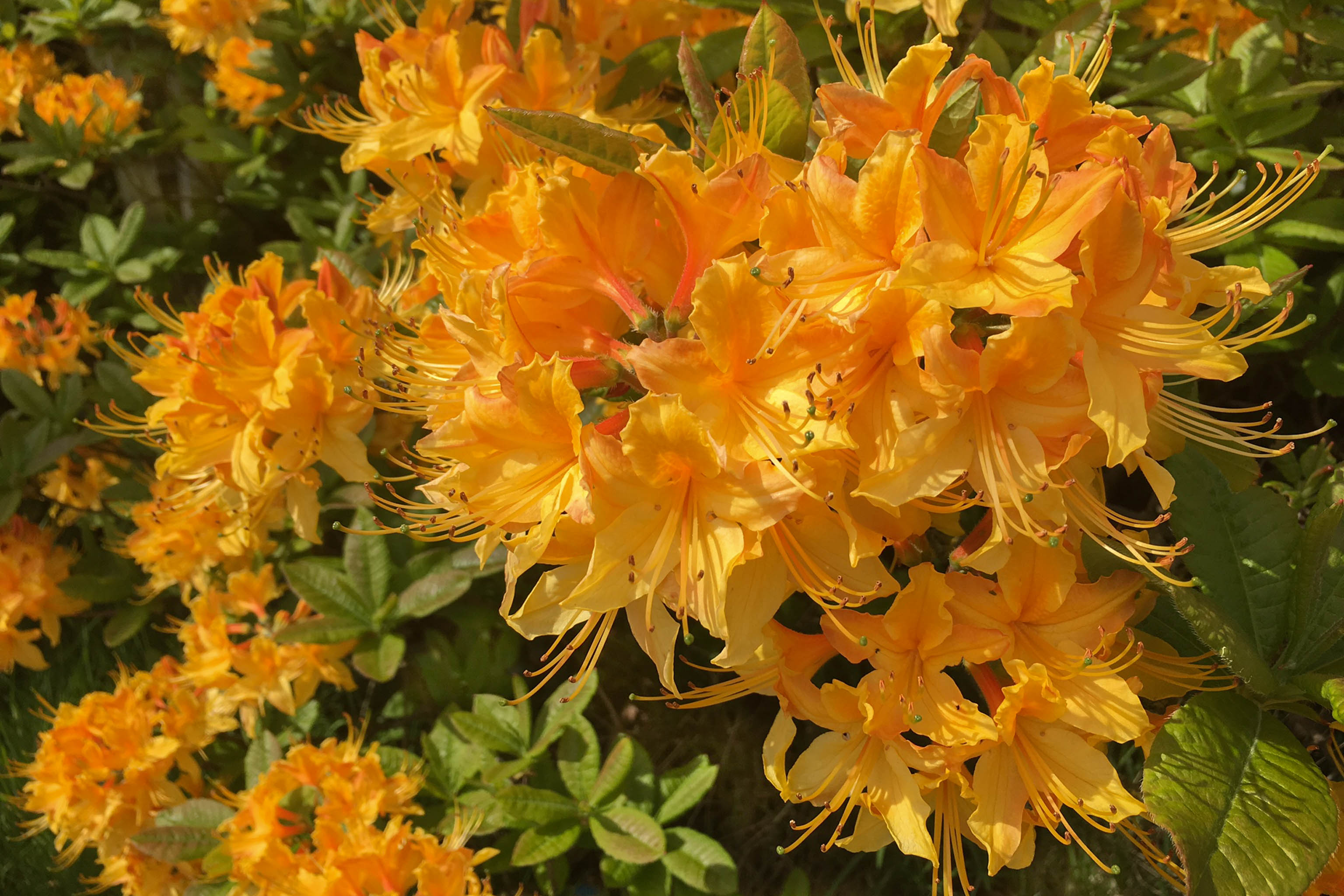 Rhododendron Golden Lights flowers