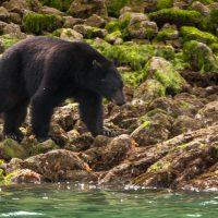 Tofino nature bears Vancouver Island BC