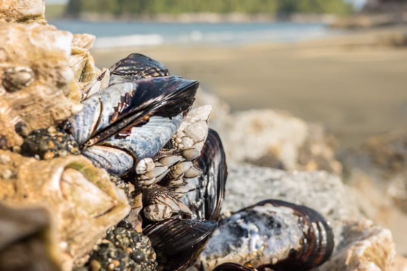 Blue mussels beach