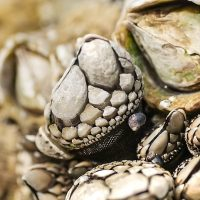 macro photography goose barnacles acorn barnacles