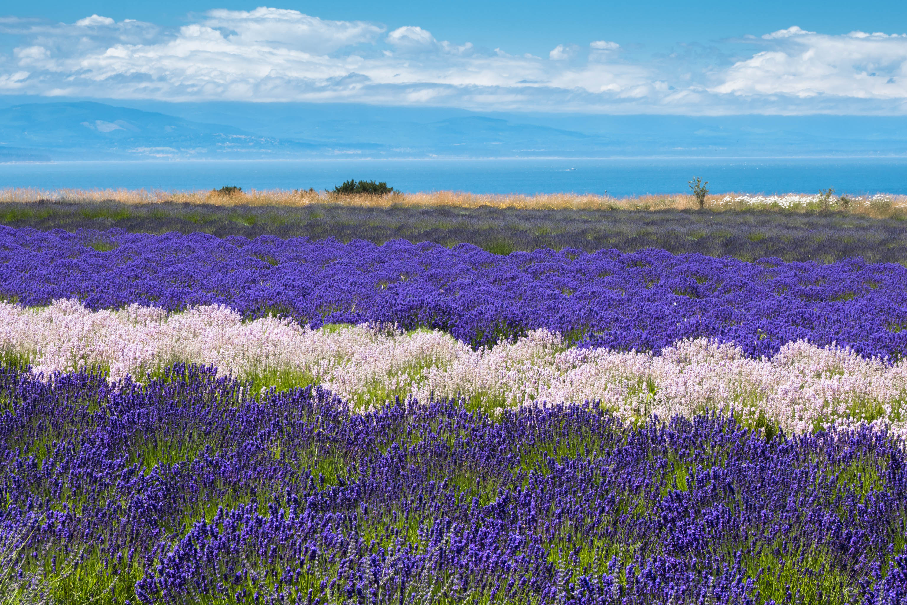 Whidbey Island lavender field
