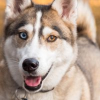 husky dog smiling