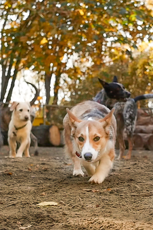 Corgi dog at park