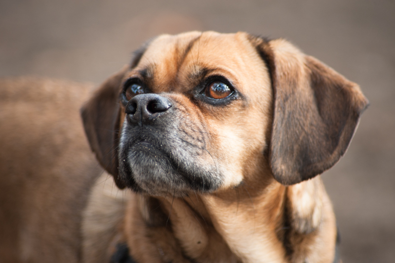 Puggle dog close-up
