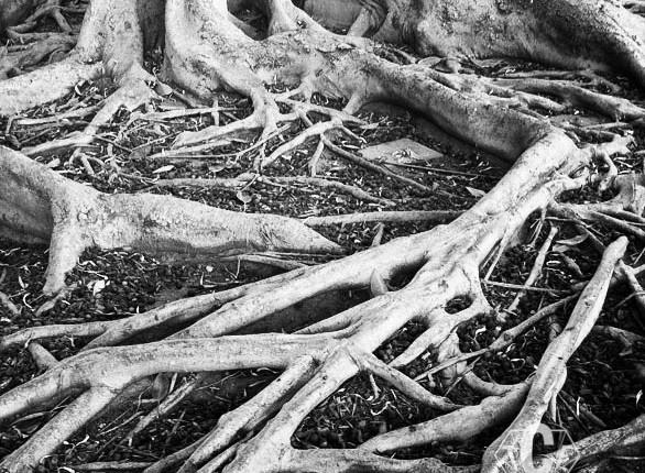 TCF_SFS_110412_Tree_Roots_1