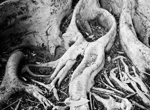 TCF_SFS_110412_Tree_Roots_2
