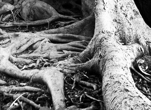 TCF_SFS_110412_Tree_Roots_5