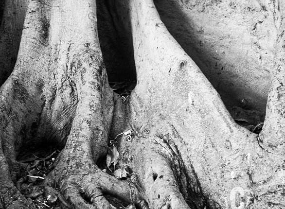 TCF_SFS_110412_Tree_Roots_6