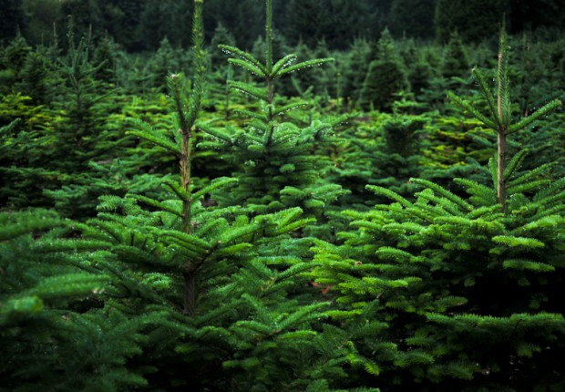 TCF_SFS_122312_06_Christmas_Trees