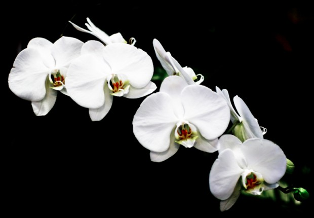 TCF_SFS_011313_01_White_Orchid