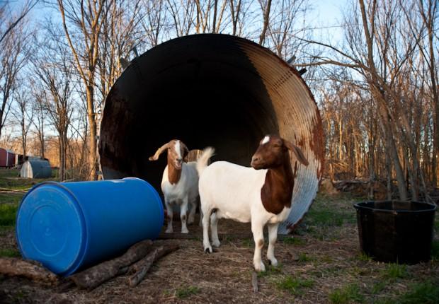 TCF_SFS_020313_01_Goats
