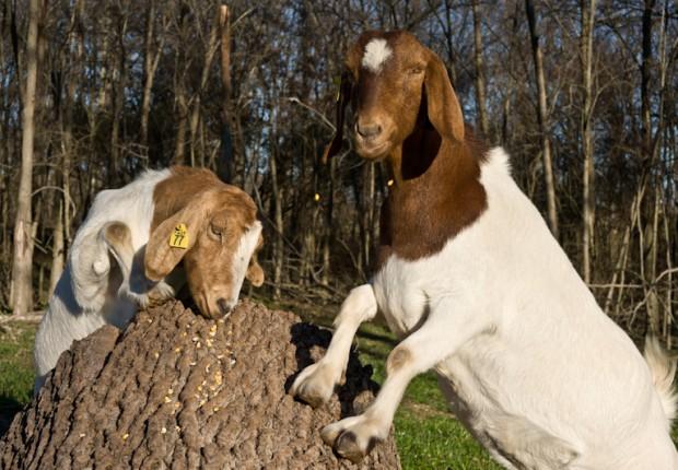 TCF_SFS_020313_03_Goats