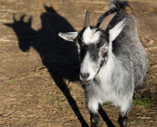 TCF_SFS_020313_04_Goats