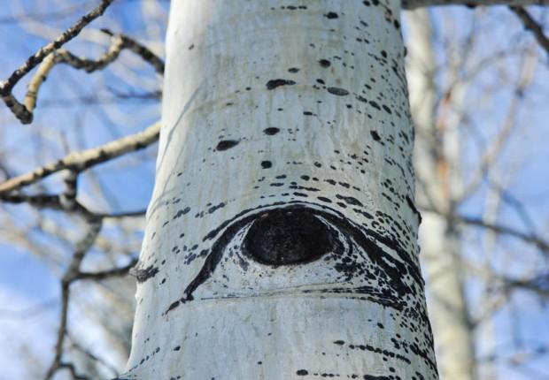 Aspen Tree Eye