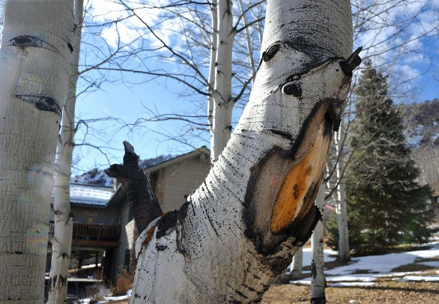 Aspen Tree Big Mouth