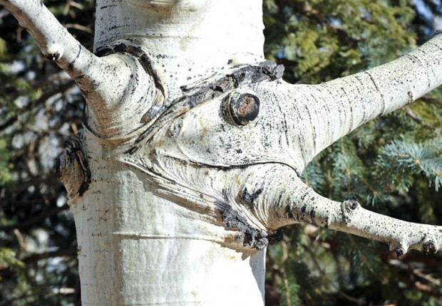 Aspen Tree Face