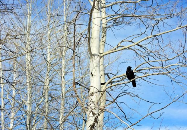 Raven Sitting on Aspen Tree