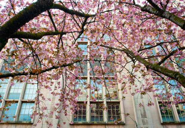 TCF_SFS_040713_02_Cherry_Blossoms_UW