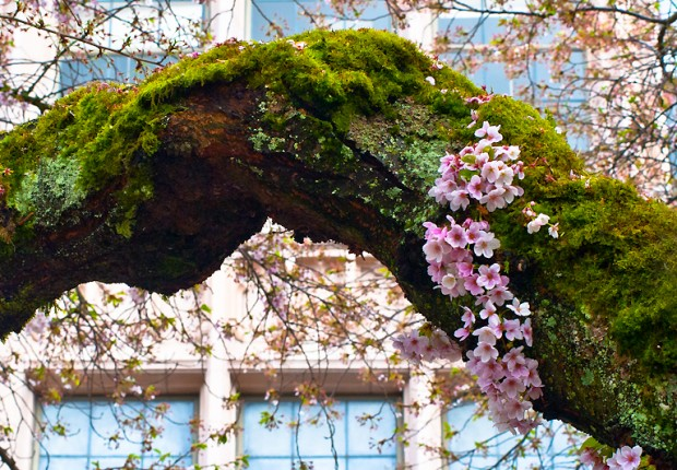 TCF_SFS_040713_03_Cherry_Blossoms_UW