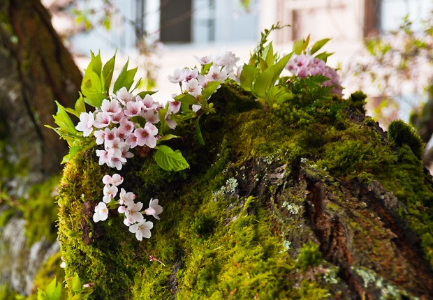 TCF_SFS_040713_04_Cherry_Blossoms_UW