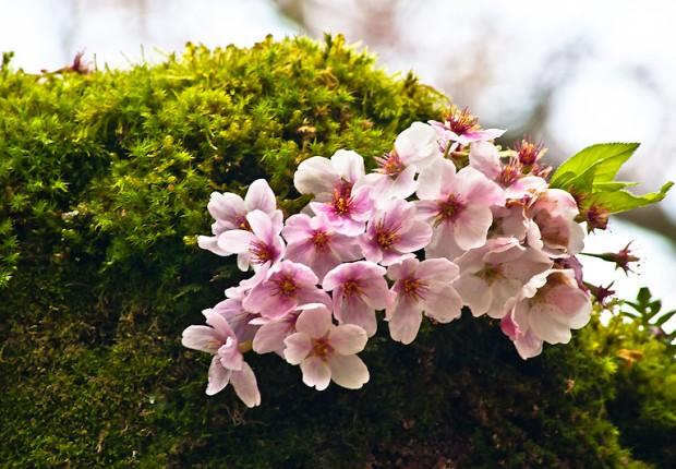 TCF_SFS_040713_05_Cherry_Blossoms_UW