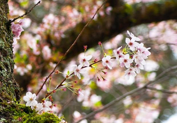 TCF_SFS_040713_06_Cherry_Blossoms_UW