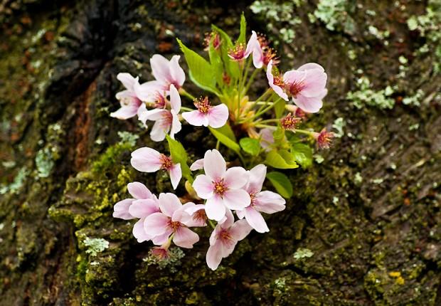 TCF_SFS_040713_07_Cherry_Blossoms_UW