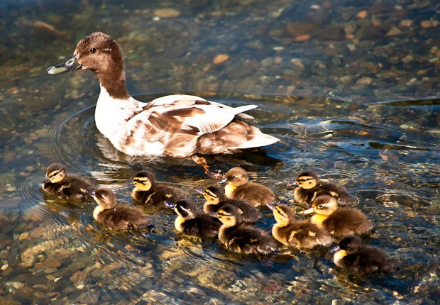 Mama with Ducklings