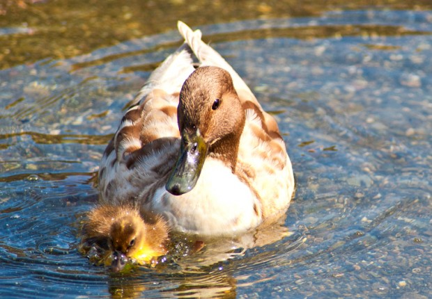 Mama with Duckling