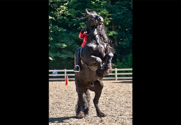 friesian stallion horse performing