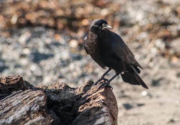 raven on driftwood