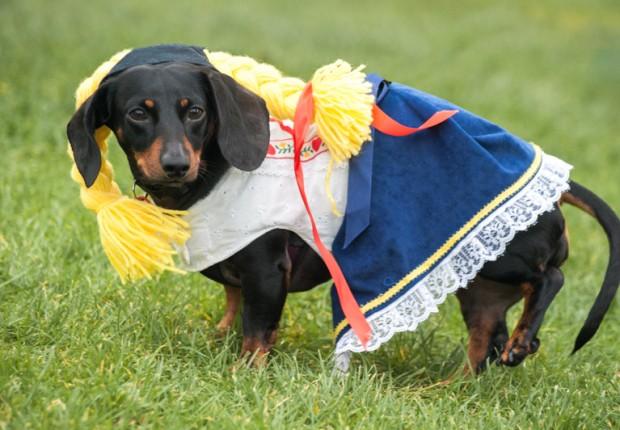 Little German Dachshund Dog