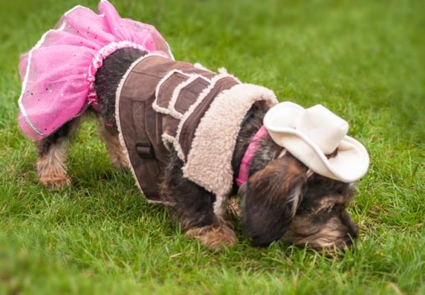 Western Wiener Dog