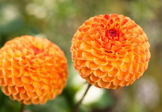 Orange Pom Pom Dahlia