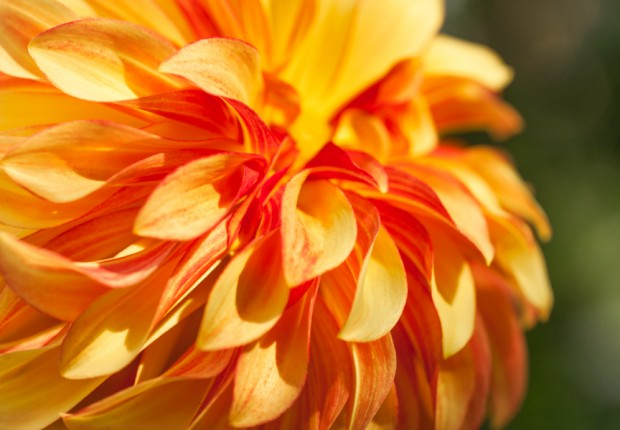 Orange Dahlia blossom
