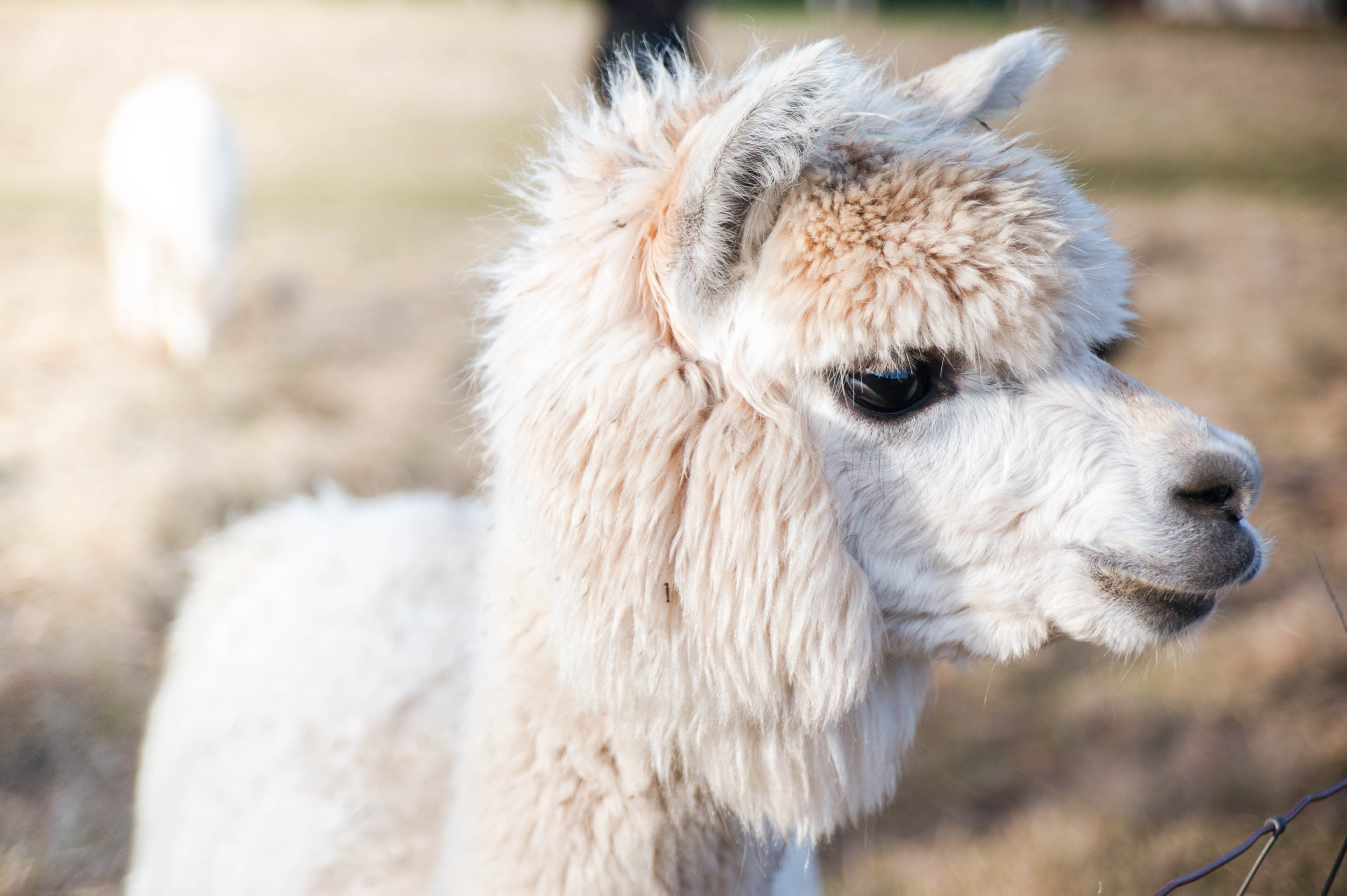TCF_SFS_011115_Adorable_Alpacas-4