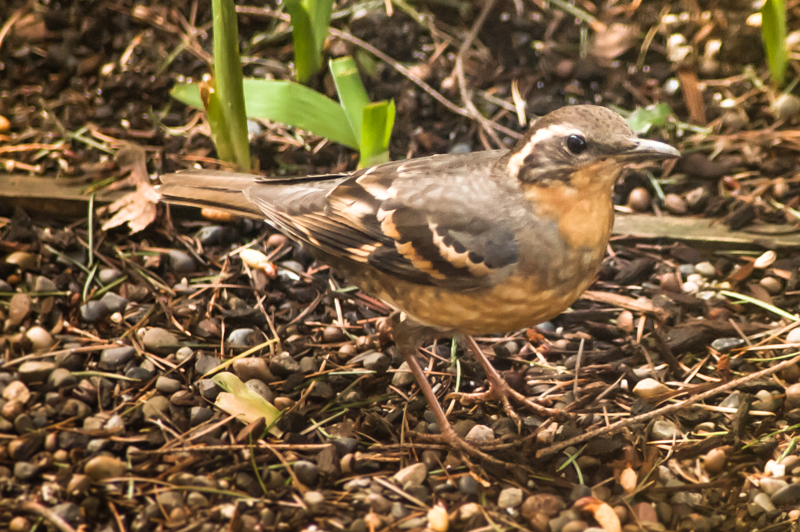 Varied thrush bird