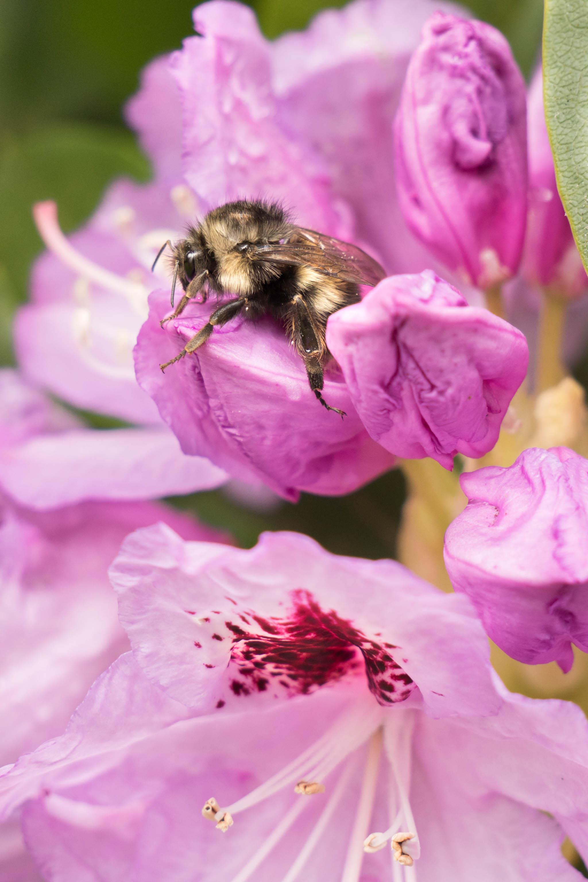 bumble bee on rhododendron bud