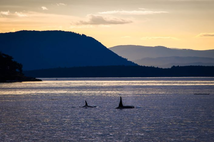 Orca whales, Orcas Island, San Juan Islands, Washington